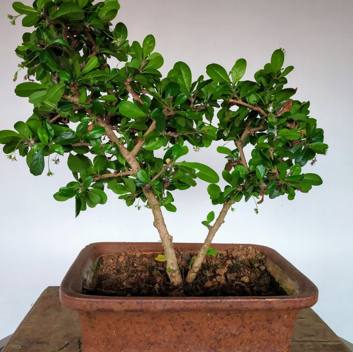 The Fukien tea tree bonsai