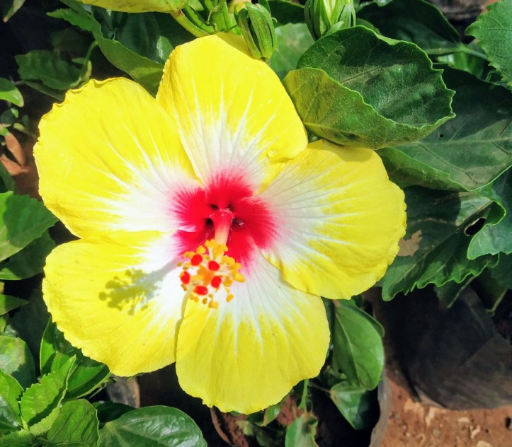 Dwarf variety hibiscus plants suitable for pot planting.