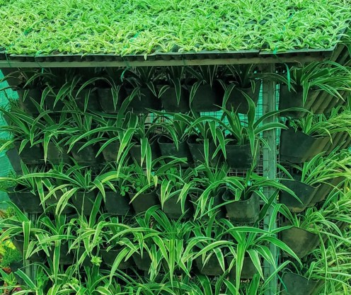 Spider plants used in vertical gardens