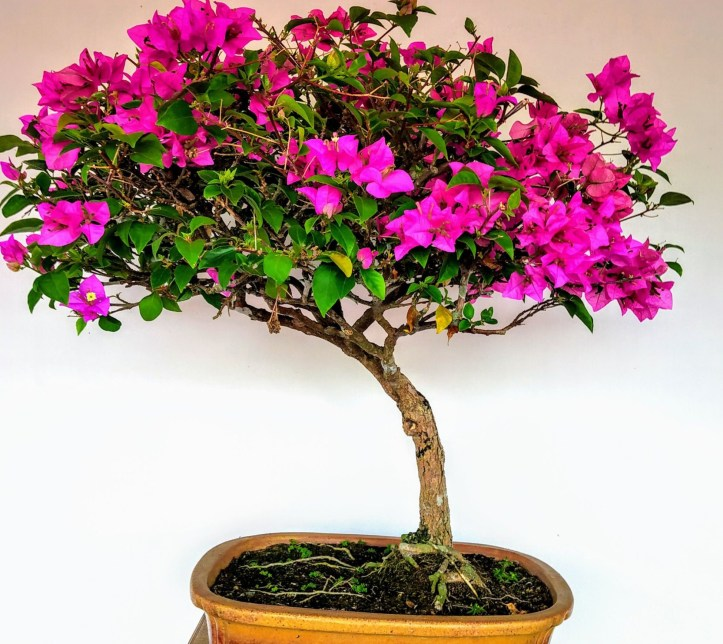 Bougainville plants are ideal gifts