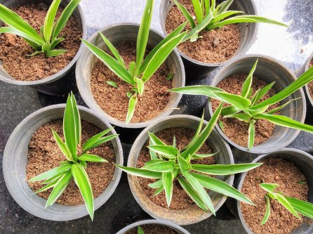 Use polythene bags or pots for rooting the baby plants
