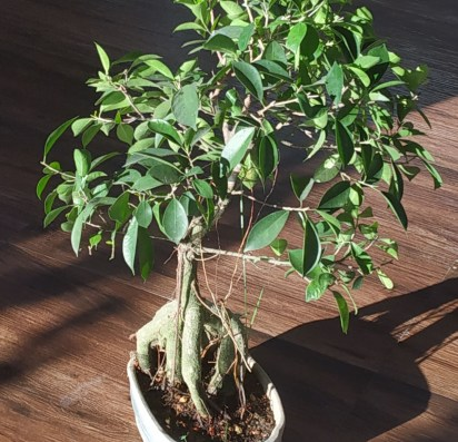 Hanging roots are special feature of Ficus ginseng microcarpa bonsai