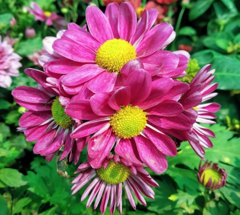 Chrysanthemum are plants with fragrant flowers