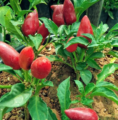 We can grow chilli pepper plants directly in soil