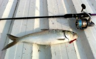 Allis Shad on Ultra Light Rod
