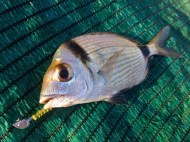 Two Banded Sea Bream