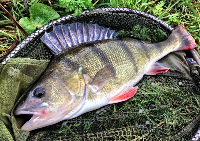 Big Canal Perch