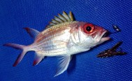 Squirrelfish on Bug Ant