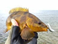 Ballan Wrasse on Lunker City Ribster