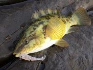 Ballan Wrasse on Weedless One Up Shad