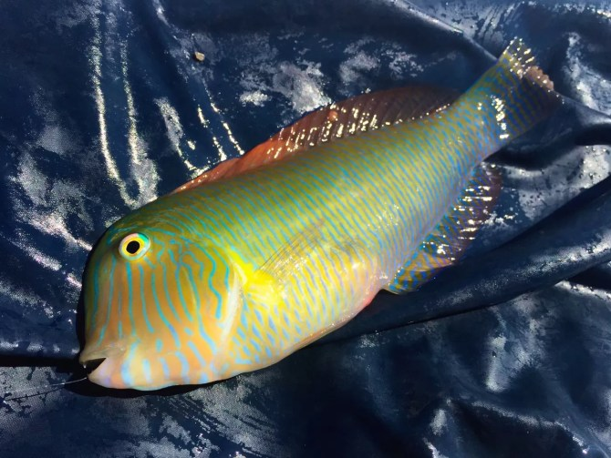 Cleaver Wrasse