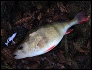 Perch on HTO Paddle Bug