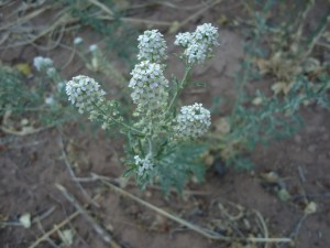 This reminds me of the yarrow in northern Cali.