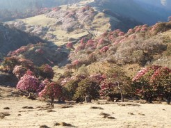 Solukhumbu Trek April/May 2016 - Rhododendrons galore