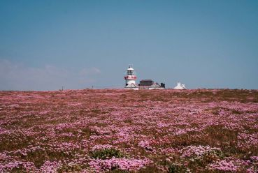 Loop Head Lighthouse and the surrounding cliffs in full bloom during last summer's heatwave. Image Gary Collins Photography