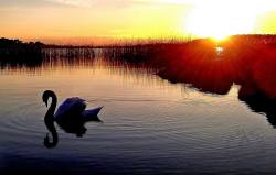 A swan on Lough Derg, Co. Clare, at sunset. Photo by Clare by Nature