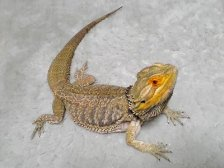 "Tokage, ""Pogona"". Photo taken by Tsukitotaiyou. From Wikipedia."