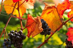 A grapevine in southern Styria.
