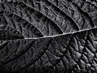 Heliotrope leaf