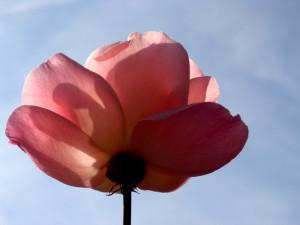 winter-rose-1406152