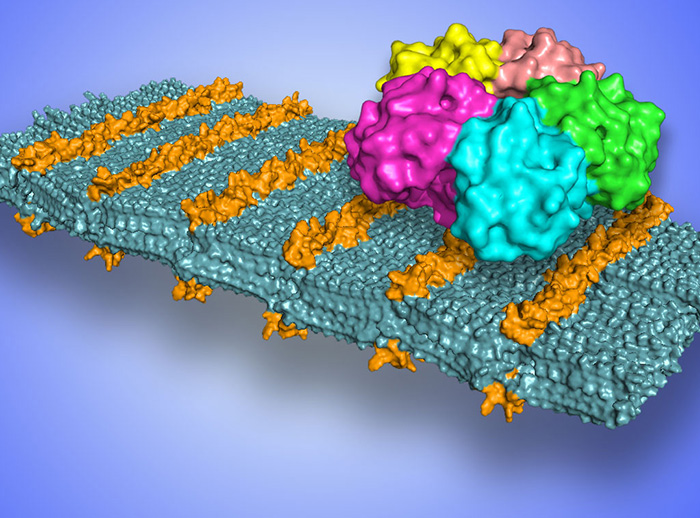 Scientists develop sugar-coated nanosheets to target pathogens
