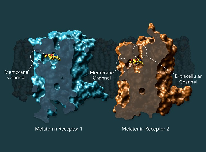 Researchers create the first maps of two melatonin receptors essential for sleep