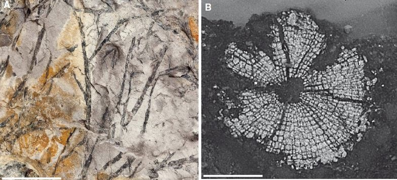 Analyzing the world's oldest woddy plant fossil
