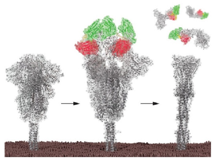 Structure-guided nanobodies block SARS-CoV-2 infection