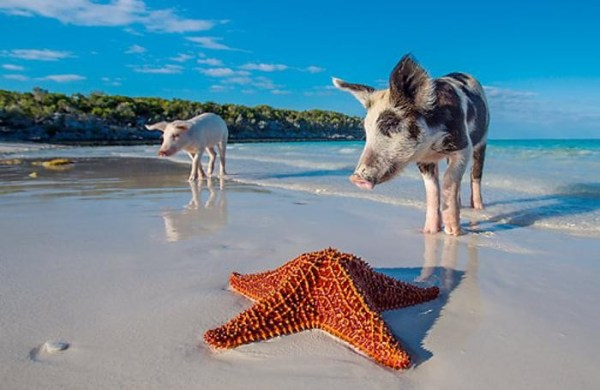 Bahamas cè Pig Beach E si nuota con i maiali Viaggi e