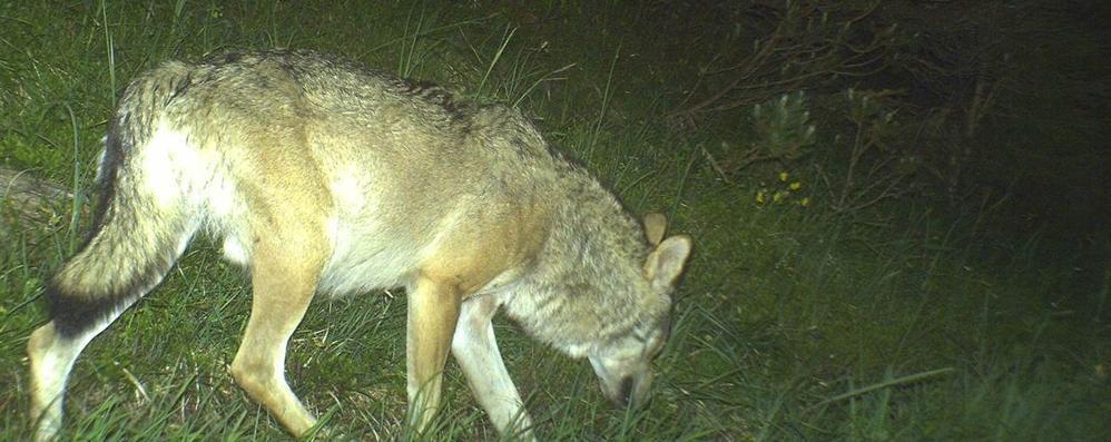 Val Bregaglia. avvistato lupo vicino al confine - Cronaca. italia