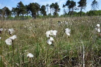 4-Close up view of the seed heads of Common Cotton-grass