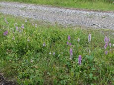 1-Native wild orchids beside path