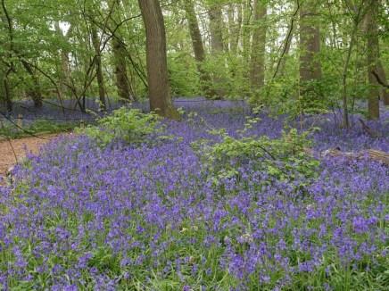 Hatchlands bluebells_1