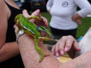 11-An amazing chameleon