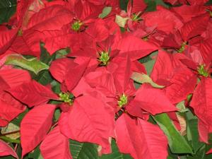 Stella di Natale (euphorbia pulcherrima)