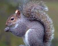 scoiattoli a rischio ai giardini di Nervi