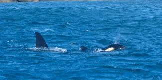 orche a Voltri, Prà, porto di Prà, Acquario di Genova, notizie Genova, notizie Liguria