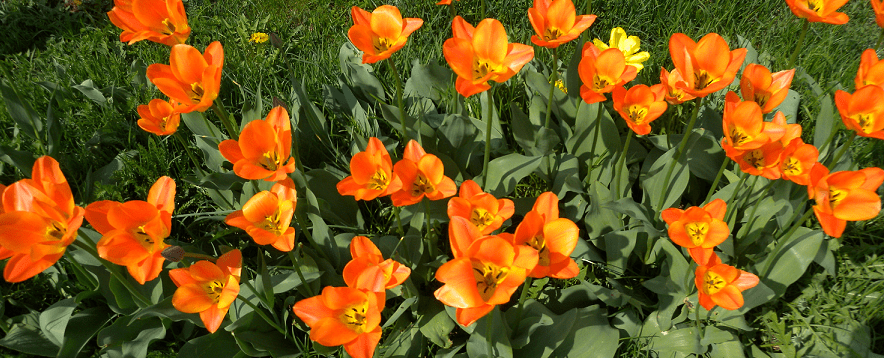 Oranssit Kukat