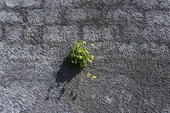 Kukka puskee valoon muurin läpi.