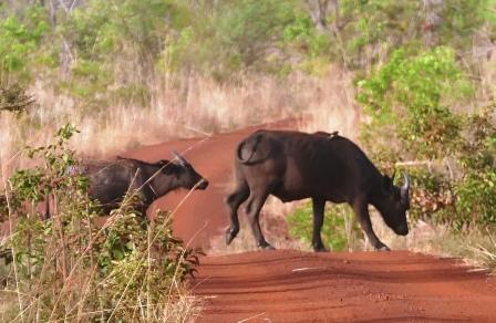Pen buffalot ylittävät tien