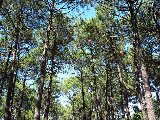 Forêt de pins, Landes