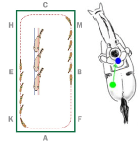 Shoulder Fore and Shoulder In