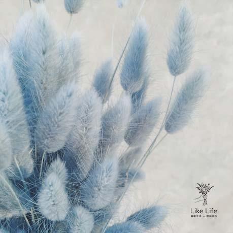 藍色兔尾草,兔尾草,喜歡生活乾燥花店