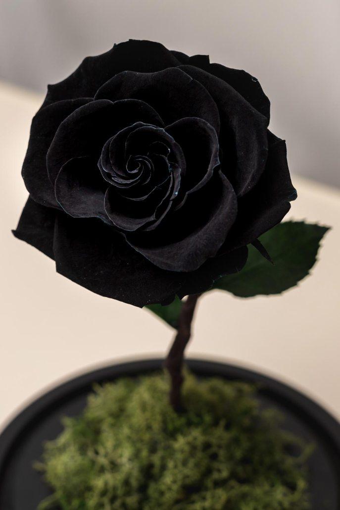 暗黑色永生玫瑰花特寫照片-永生玫瑰花玻璃罩