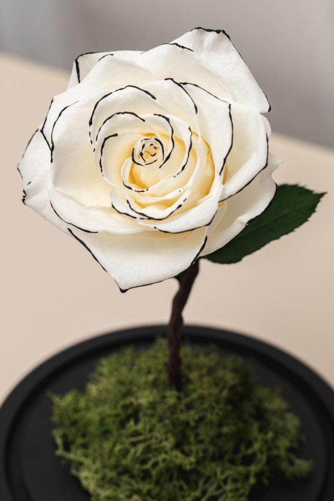 白色永生玫瑰花特寫照片-永生玫瑰花玻璃罩