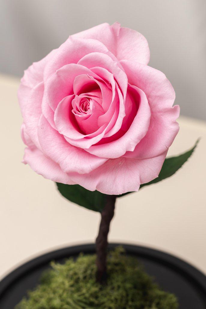 粉紅色永生玫瑰花特寫照片-永生玫瑰花玻璃罩