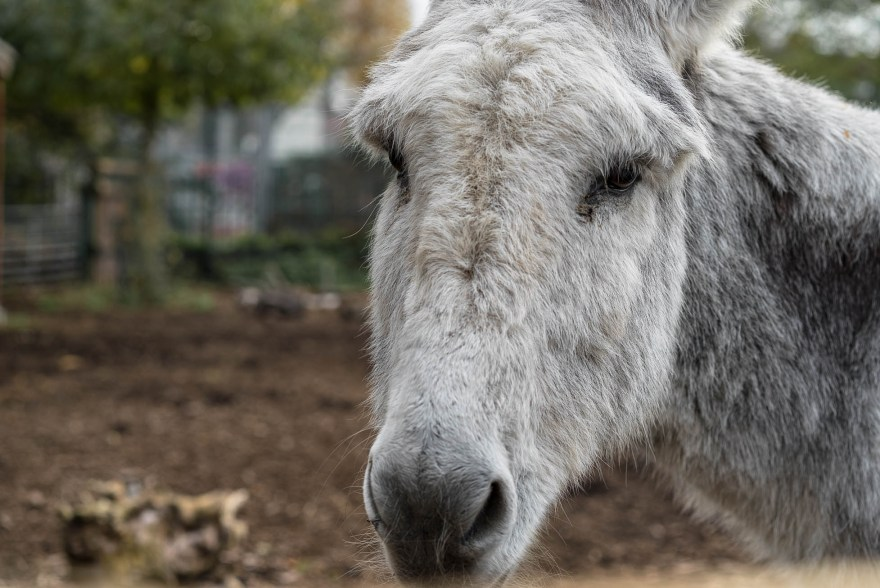donkey with white fur looking at the camera