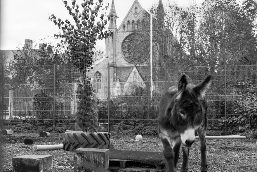 black and white picture of donkey in an enclosure inside spitalfields city farm with a church in the backdrop