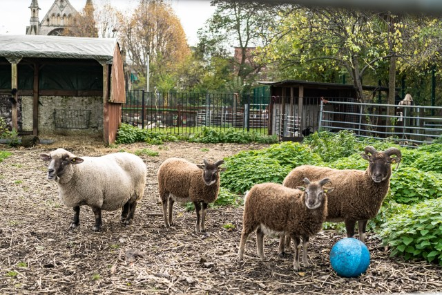 3 brown horned sheep and one white sheep inside an enclosure within a spitalfields city farm