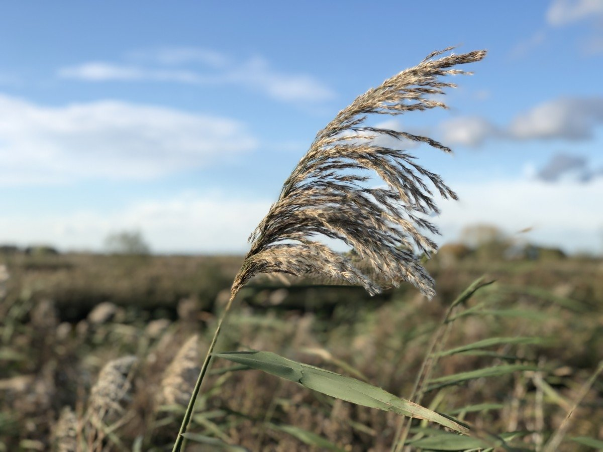 A 4 day trip the Norfolk Broads reeds long grass photo